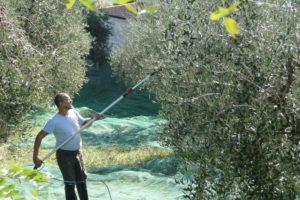 Wie wir unsere Oliven ernten