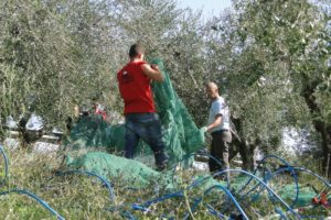 olive harvesting italy